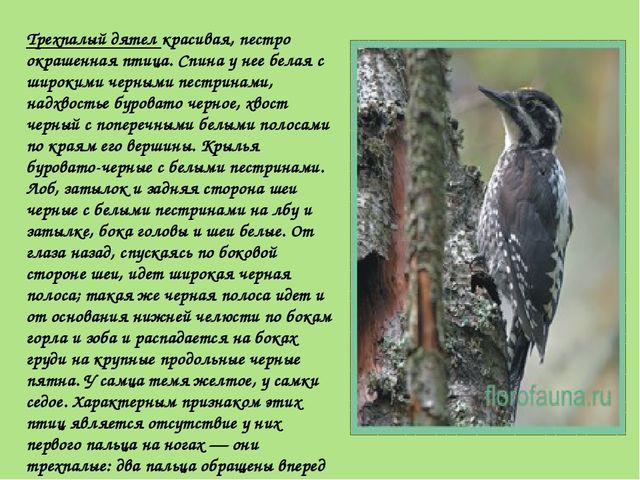 Трехпалый дятел красивая, пестро окрашенная птица. Спина у нее белая с широки...