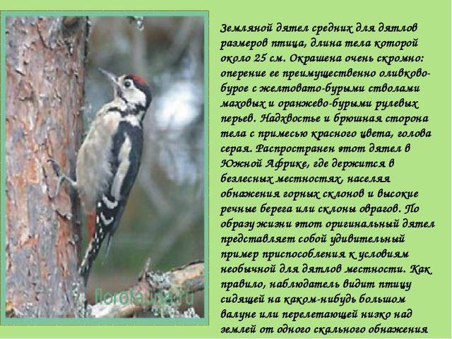 Земляной дятел средних для дятлов размеров птица, длина тела которой около 25...
