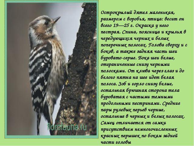 Острокрылый дятел маленькая, размером с воробья, птица: весит он всего 19—25...