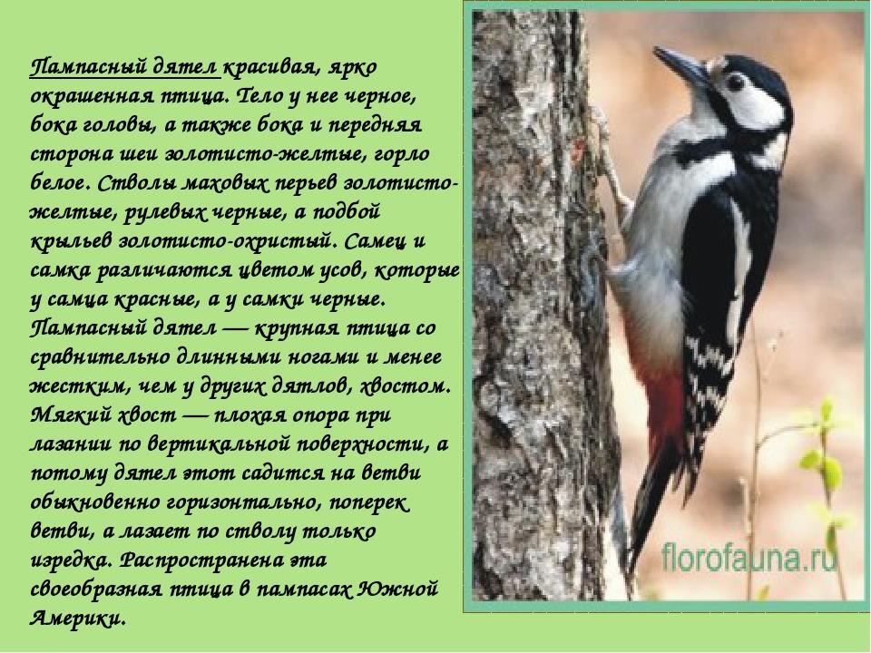 Пампасный дятел красивая, ярко окрашенная птица. Тело у нее черное, бока голо...