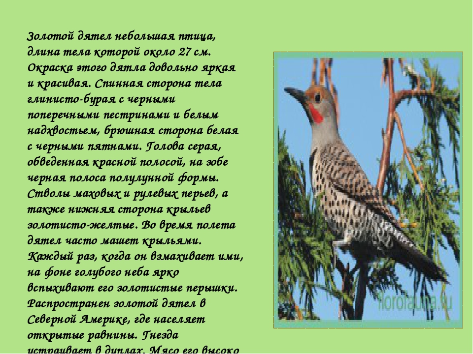 Золотой дятел небольшая птица, длина тела которой около 27 см. Окраска этого...