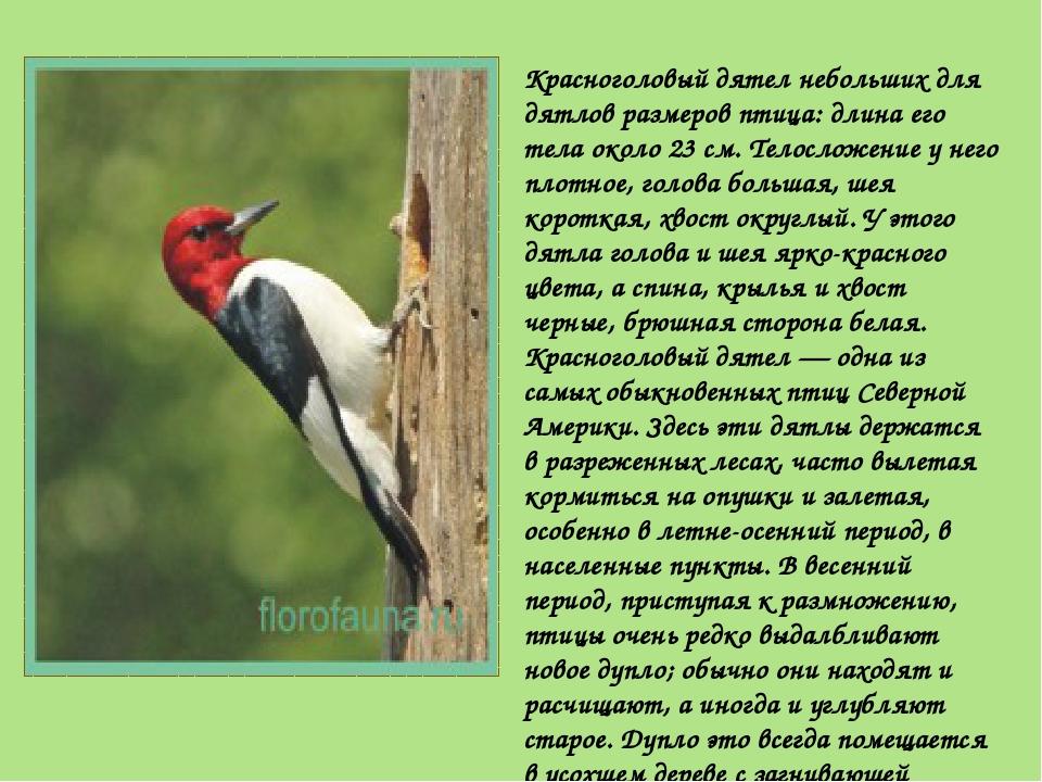 Красноголовый дятел небольших для дятлов размеров птица: длина его тела около...