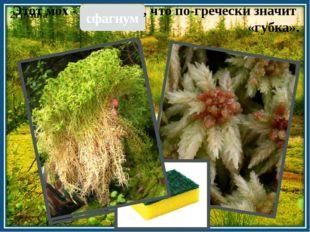 2группа сфагнум Этот мох - , что по-гречески значит «губка».