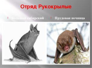 Отряд Рукокрылые Большой сибирский трубконос Прудовая ночница