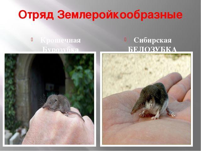 Отряд Землеройкообразные Крошечная Бурозубка Сибирская БЕЛОЗУБКА