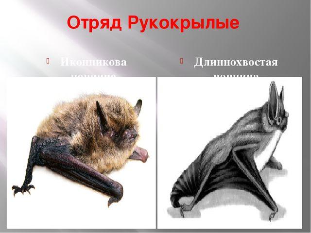 Отряд Рукокрылые Иконникова ночница Длиннохвостая ночница