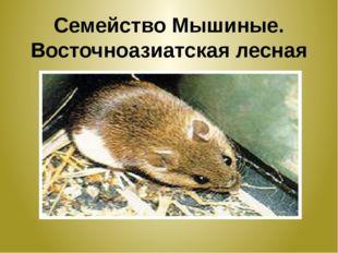 Семейство Мышиные. Восточноазиатская лесная мышка.