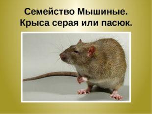 Семейство Мышиные. Крыса серая или пасюк.