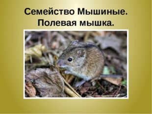 Семейство Мышиные. Полевая мышка.
