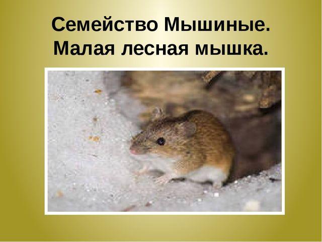 Семейство Мышиные. Малая лесная мышка.