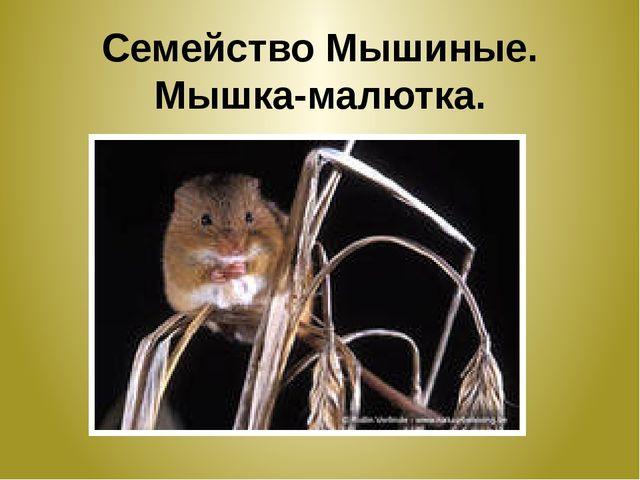 Семейство Мышиные. Мышка-малютка.