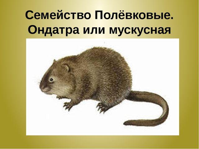 Семейство Полёвковые. Ондатра или мускусная крыса .