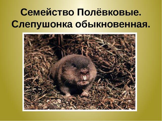 Семейство Полёвковые. Слепушонка обыкновенная.