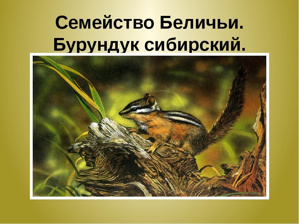 Семейство Беличьи. Бурундук сибирский.