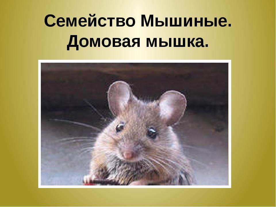 Семейство Мышиные. Домовая мышка.