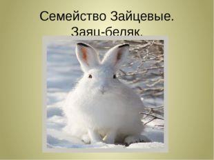 Семейство Зайцевые. Заяц-беляк.