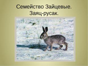 Семейство Зайцевые. Заяц-русак.