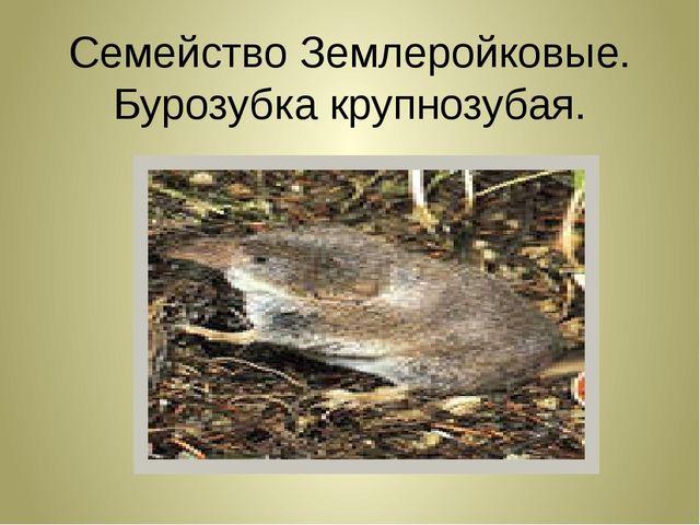 Семейство Землеройковые. Бурозубка крупнозубая.