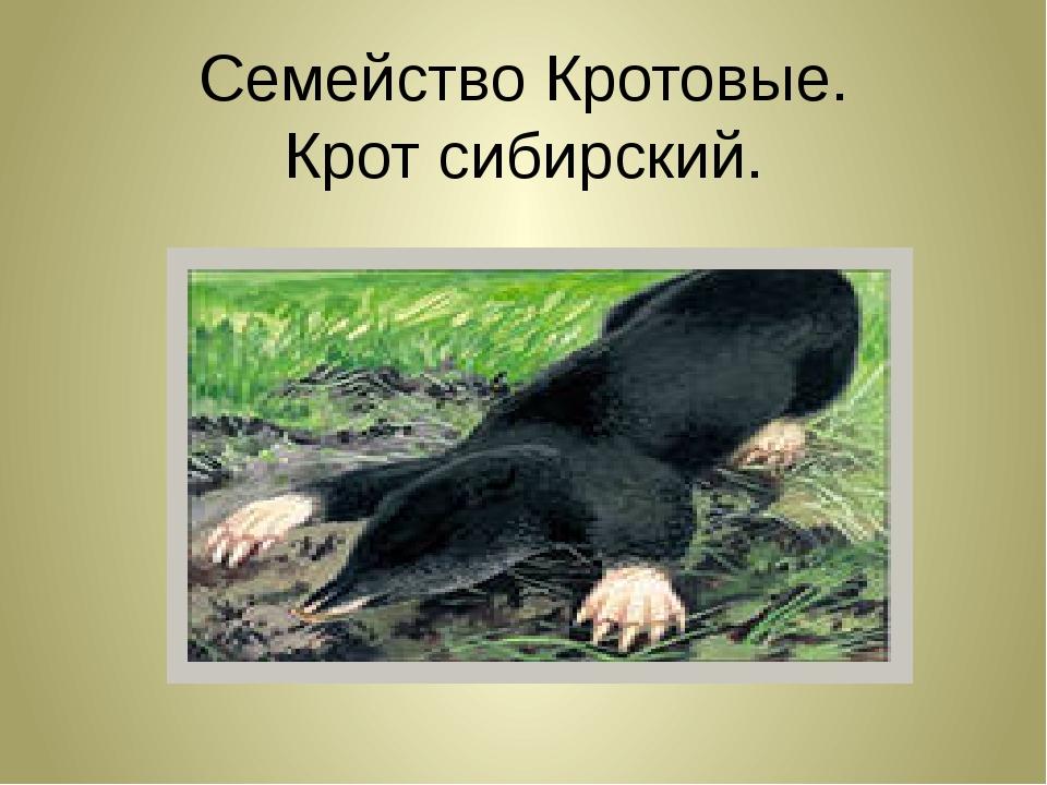 Семейство Кротовые. Крот сибирский.
