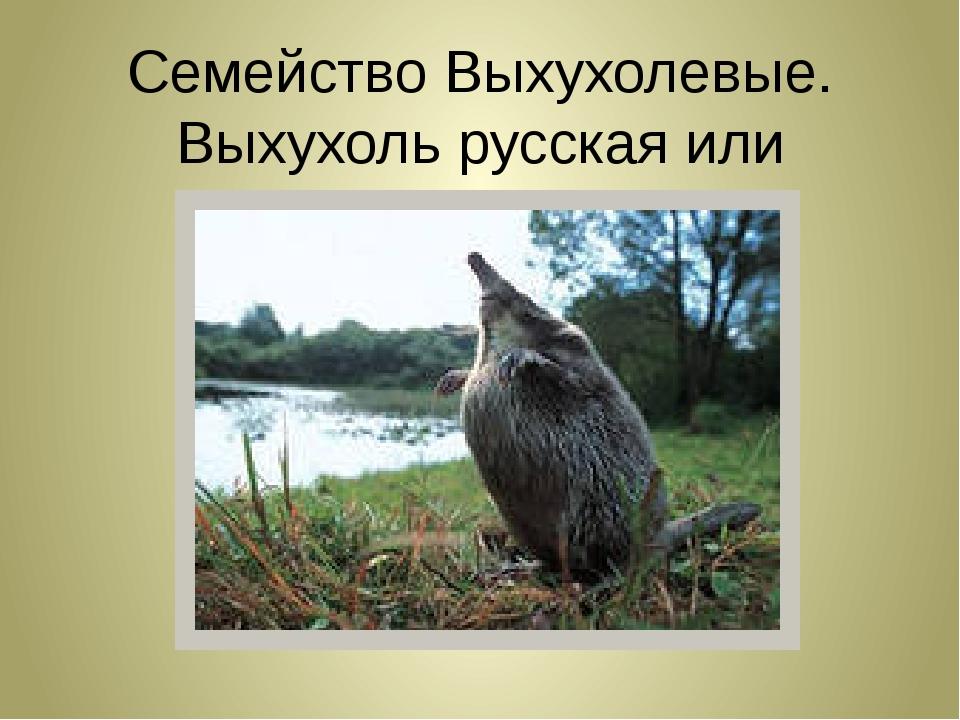 Семейство Выхухолевые. Выхухоль русская или хохуля!!!