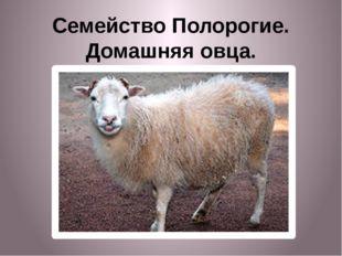 Семейство Полорогие. Домашняя овца.