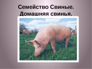 Семейство Свиные. Домашняя свинья.