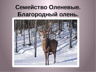 Семейство Оленевые. Благородный олень.