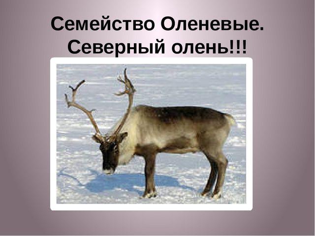 Семейство Оленевые. Северный олень!!!