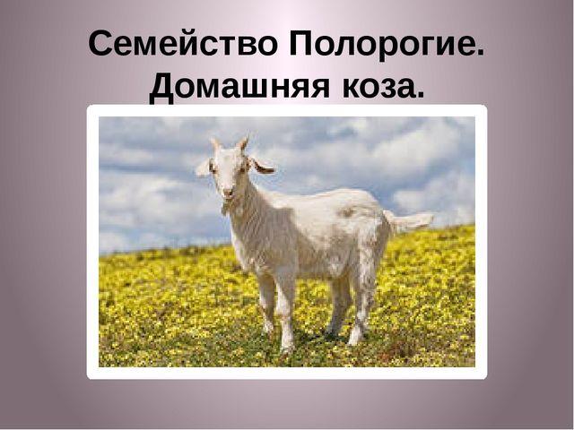 Семейство Полорогие. Домашняя коза.