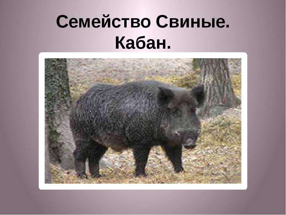 Семейство Свиные. Кабан.