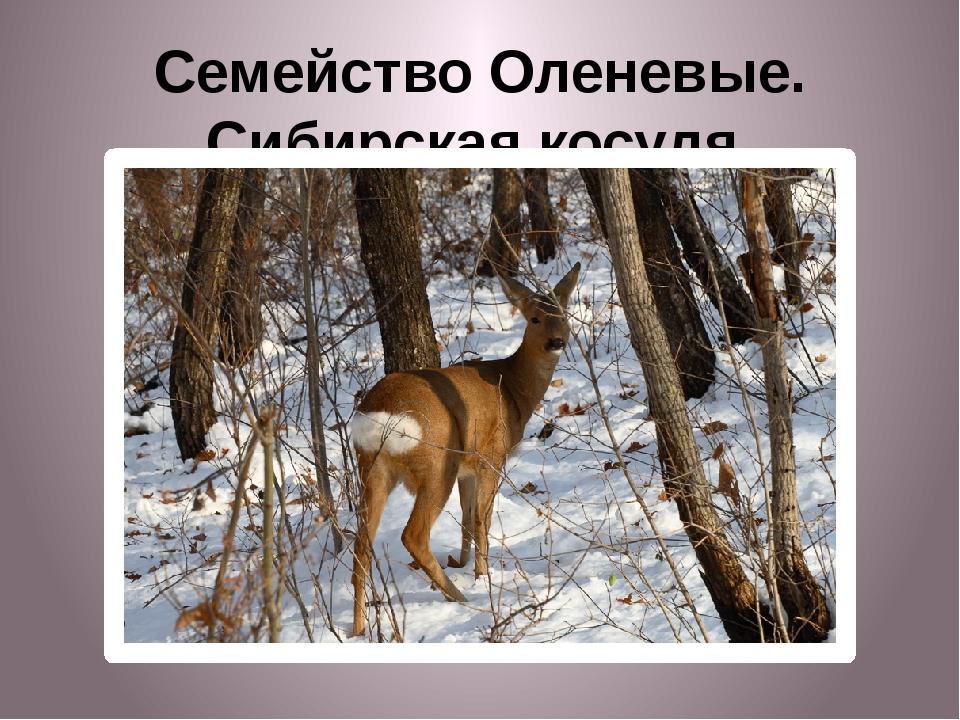Семейство Оленевые. Сибирская косуля.