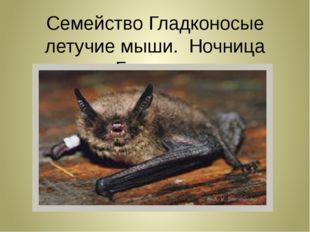 Семейство Гладконосые летучие мыши. Ночница Брандта.
