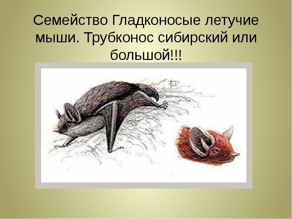 Семейство Гладконосые летучие мыши. Трубконос сибирский или большой!!!