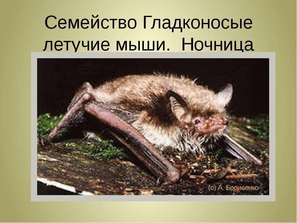 Семейство Гладконосые летучие мыши. Ночница водяная.