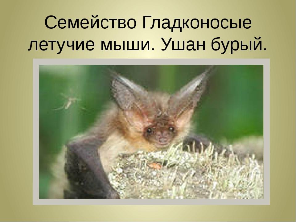 Семейство Гладконосые летучие мыши. Ушан бурый.