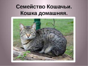 Семейство Кошачьи. Кошка домашняя.