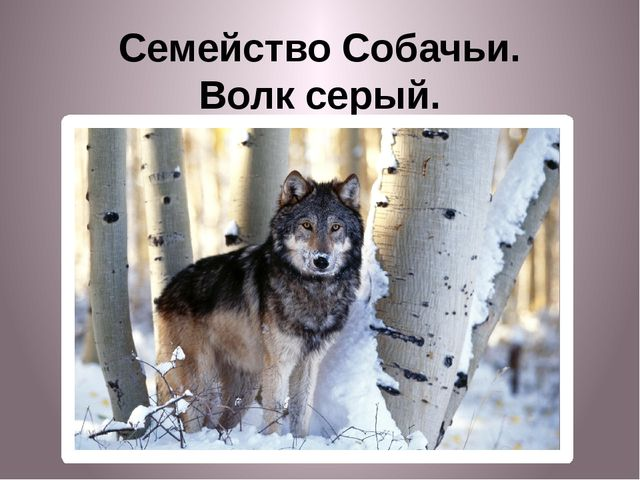 Семейство Собачьи. Волк серый.