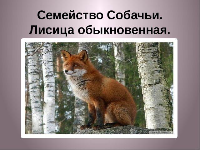 Семейство Собачьи. Лисица обыкновенная.
