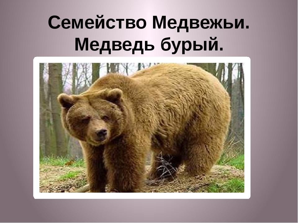 Семейство Медвежьи. Медведь бурый.