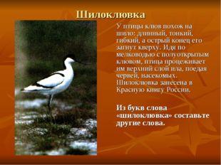 Шилоклювка У птицы клюв похож на шило: длинный, тонкий, гибкий, а острый коне