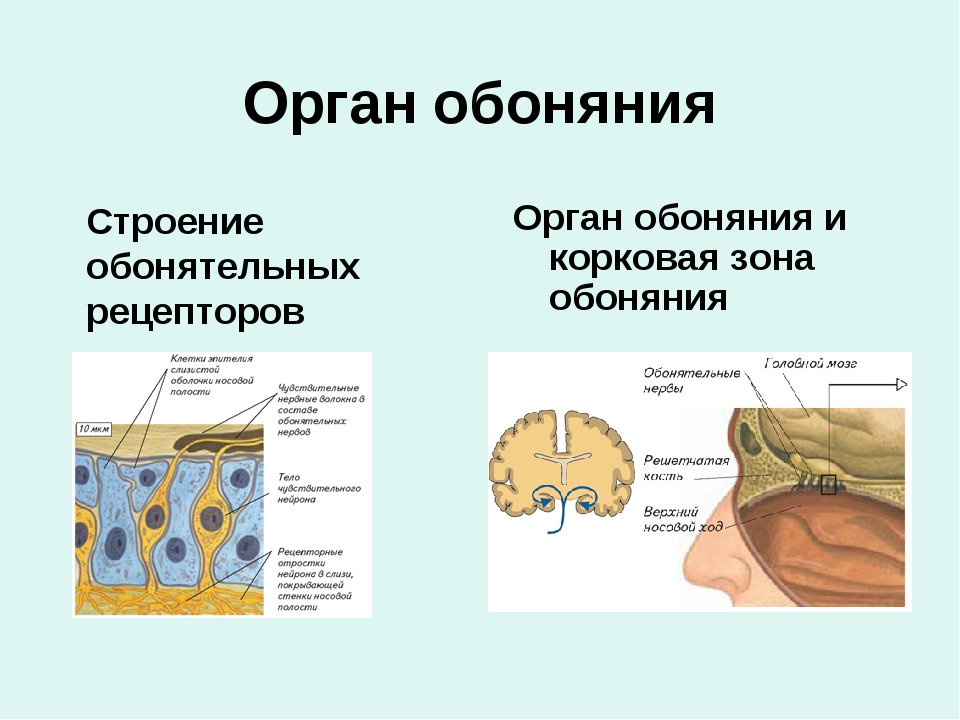 Орган обоняния Строение обонятельных рецепторов Орган обоняния и корковая зо...