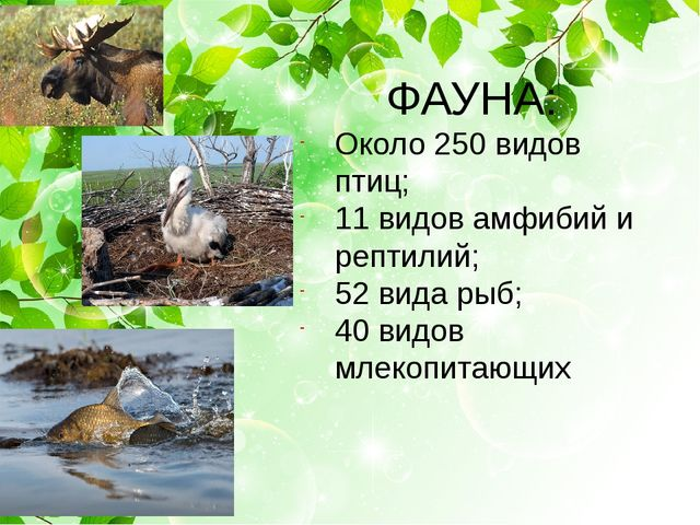 ФАУНА: Около 250 видов птиц; 11 видов амфибий и рептилий; 52 вида рыб; 40 ви...