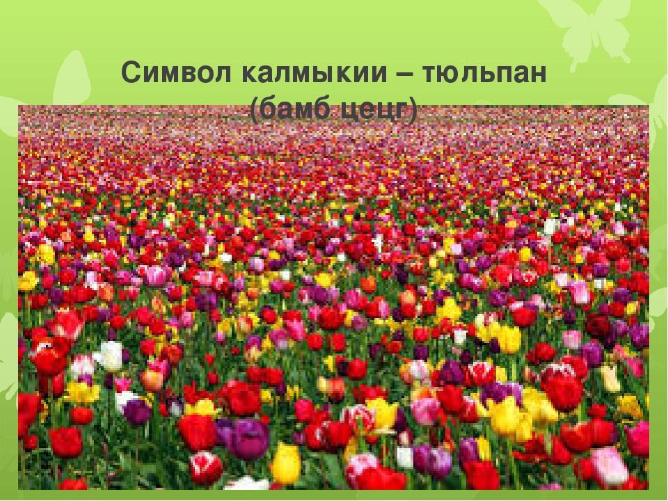 Символ калмыкии – тюльпан (бамб цецг)