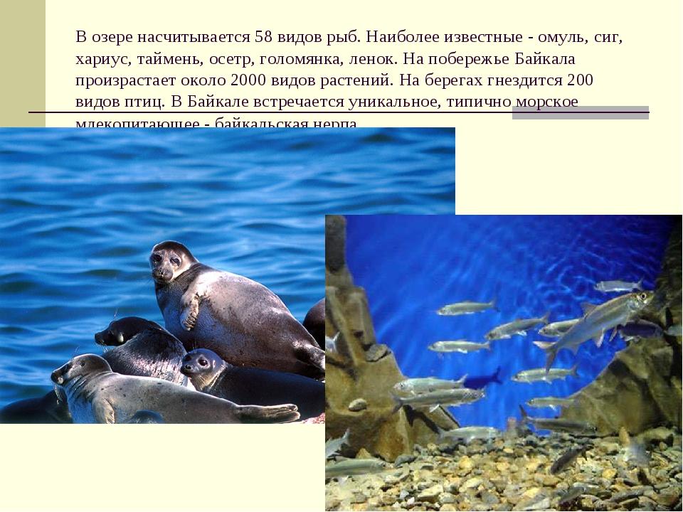 В озере насчитывается 58 видов рыб. Наиболее известные- омуль, сиг, хариус,...