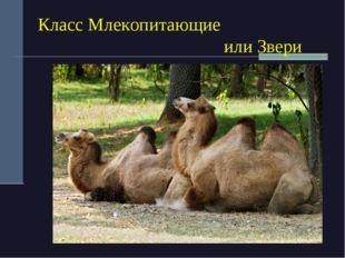 Класс Млекопитающие или Звери