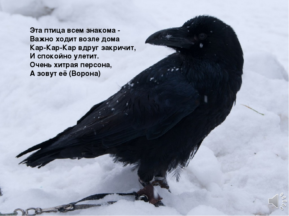 Эта птица всем знакома - Важно ходит возле дома Кар-Кар-Кар вдруг закричит...