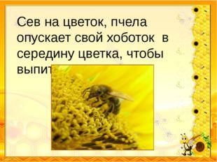 Сев на цветок, пчела опускает свой хоботок в середину цветка, чтобы выпить не