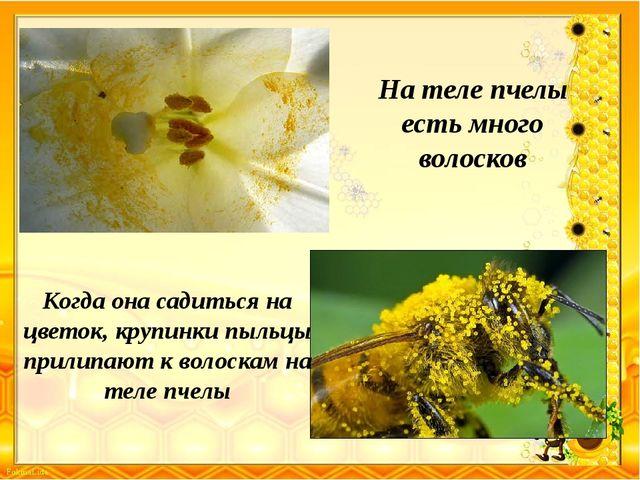 На теле пчелы есть много волосков Когда она садиться на цветок, крупинки пыль...
