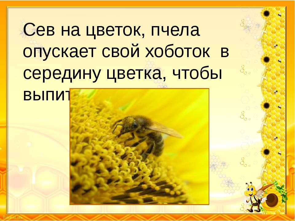 Сев на цветок, пчела опускает свой хоботок в середину цветка, чтобы выпить не...