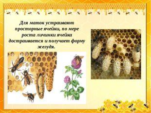 Для маток устраивают просторные ячейки, по мере роста личинки ячейка достраив